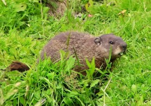 Groundhog. Photo courtesy of the NC Wildlife Resources Commission.