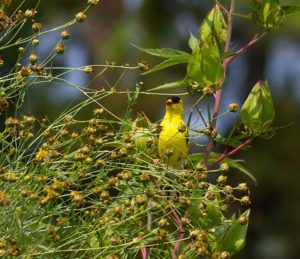 Goldfinch feeding on tall tickseed seeds.
