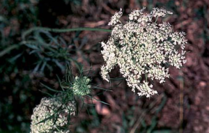 Image of quees anne's lace