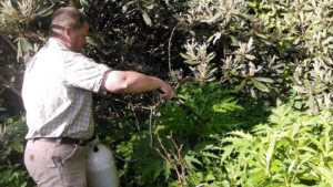 Image of worker trimming giant hogweed