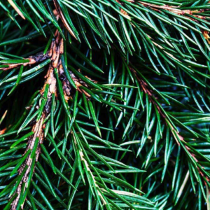 Image of fir tree
