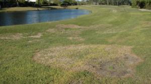 Large Patch in warm-season turf. NCSU Turffiles